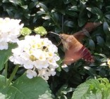 hummingbird-moth-clevedale